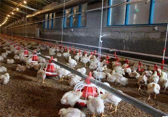 قیمت مرغ در بازار باز هم افزایش یافت