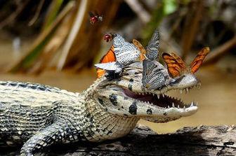 لبخند تمساح سوژه عکاس شد + عکس