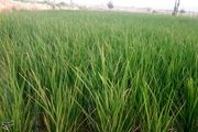 دو رقم جدید برنج معرفی شدند