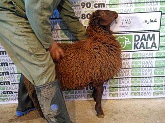 با دام کالا، با قیمت روز، خرید گوسفند را انجام دهیم