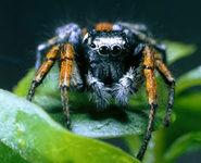 عنکبوتهای خونآشام غذای خودراچگونه انتخاب میکنند؟