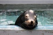 جلبک سمی سبب پاک شدن حافظه شیرهای دریایی