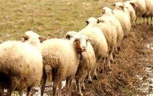 از خرید گوسفندهای محلی خودداری کنید