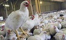 آنفلوآنزای مرغی به یک قدمی پایتخت رسید