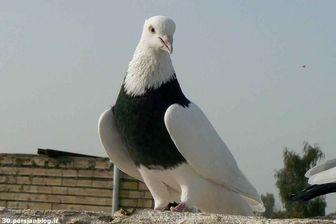 ماجرای سرو کبوتر در رستوران تهران