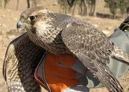 تفریحات شیخ های عرب با پرندگان ایرانی