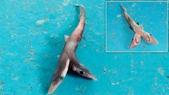 صید کوسه دوسر نادر توسط ماهیگیر هندی! +عکس