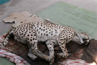 یوزپلنگی که حریف سگها نشد! + عکس