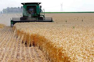 خودکفایی گندم در معرض خطر است