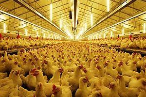 نوسانات عمدی قیمت مرغ!