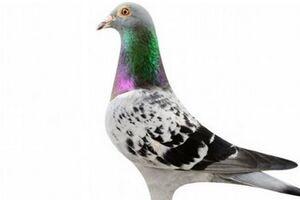 کبوتر بلژیکی 14 میلیارد تومان فروخته شد