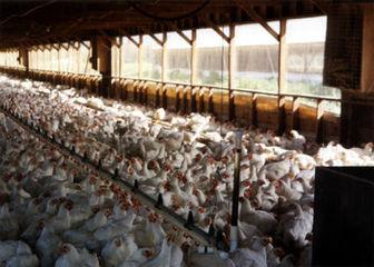 صادرات مرغ ترکیه به ایران