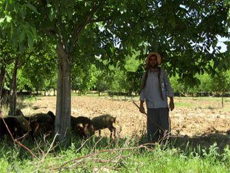 دامدار روستایی؛ برای دو خانواده ایجاد اشتغال کرد