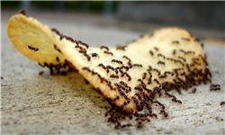 وققتی مورچه ها سنگین تر از انسان ها می شوند