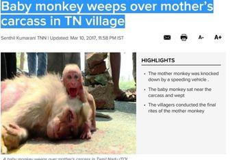 اشک های بچه میمون در کنار جنازه مادر+ عکس
