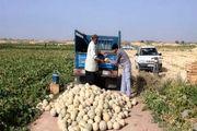 درآمد 50 میلیاردی کشاورزان دره شهری از برداشت طالبی