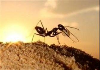 چرا بیشتر مورچهها چپدست هستند؟