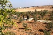 درختان زیتون سمبل مقاومت در غزه