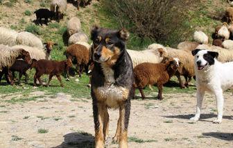 سگ گله جایی در حیات وحش ندارد