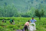 تصاویری دیدنی از برداشت چای/ گزارش تصویری