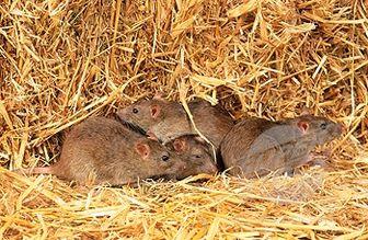موشها در کدام منطقه تهران بیشترند؟