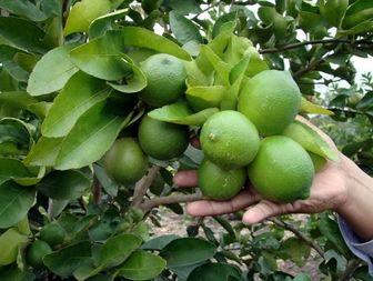 جابجایی محموله لیمو ترش در هرمزگان ممنوع شد