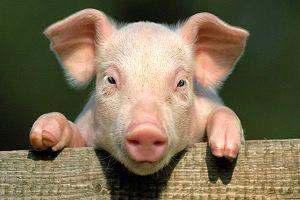 جنگ تجاری صنعت گوشت خوک در آمریکا و چین را نابود میکند