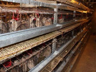 تحقق اقتصادمقاومتی با پرورش ۴ هزار قطعه بلدرچین تخمگذار در ابهر