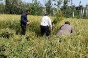 دلالان به دنبال گرانی کاذب برنج