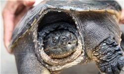 کشف لاکپشت زنده ۵۰۰ ساله + عکس