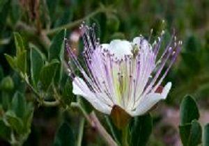 این گیاه خنثیکننده سموم بدن است