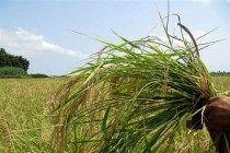 خسارت ۱۱ میلیارد ریالی حوادث غیرمترقبه به مزارع گندم وجو شهرضا