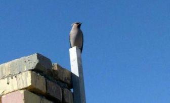 مشاهده پرنده بال لاکی برای اولین بار در استان یزد