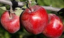 آغاز عملیات خرید سیب شب عید