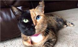 گربهای که شبیه هیچ گربهای نیست + تصاویر