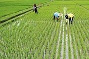 کشت برنج در استانهای کمآب هنوز ادامه دارد