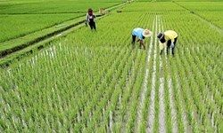 برنج ۱۷ هزار تومانی شمال ۳۰ هزار تومان در تهران فروخته می شود؟