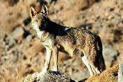 نجات کودک ۷ ساله را از دست گرگها