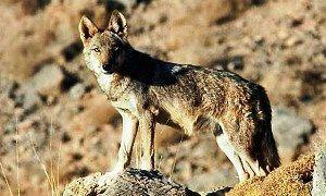 رهاسازی گرگ توسط محیط زیست تکذیب شد