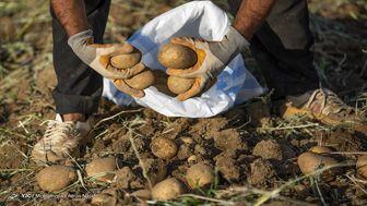 ضرورت صادرات 500 هزار تن سیب زمینی