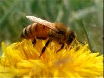 تولید زنبور تریکو گراما برای نخستین بار در استان کرمانشاه