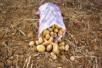 قیمت سیبزمینی تا ۷ روز آینده کاهش مییابد