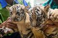 هفت توله ببر در باغ وحش مشهد تلف شدند