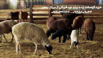 قیمت خرید گوسفند زنده و بره زنده برای عید قربان شهرداری تهران و کرج