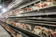 ورشکستگی در کمین صنعت مرغداری