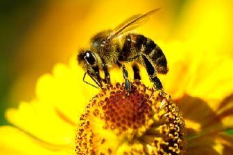 بیماری پوستی که با زهر زنبورعسل قابل درمان است!