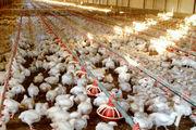 پشت پرده گران شدن قیمت مرغ