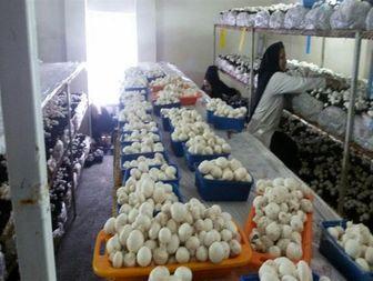 بانویی که با پرورش قارچ در اقتصاد مقاومتی ایفای نقش می کند