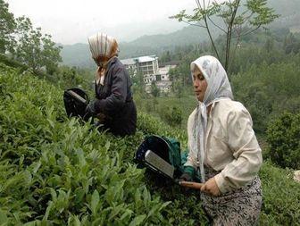 پیوست فرهنگی لازمه رشد صنعت چای است
