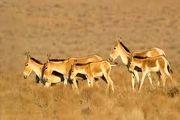 گورخرهای جدید در پارک ملی کویر/ عکس